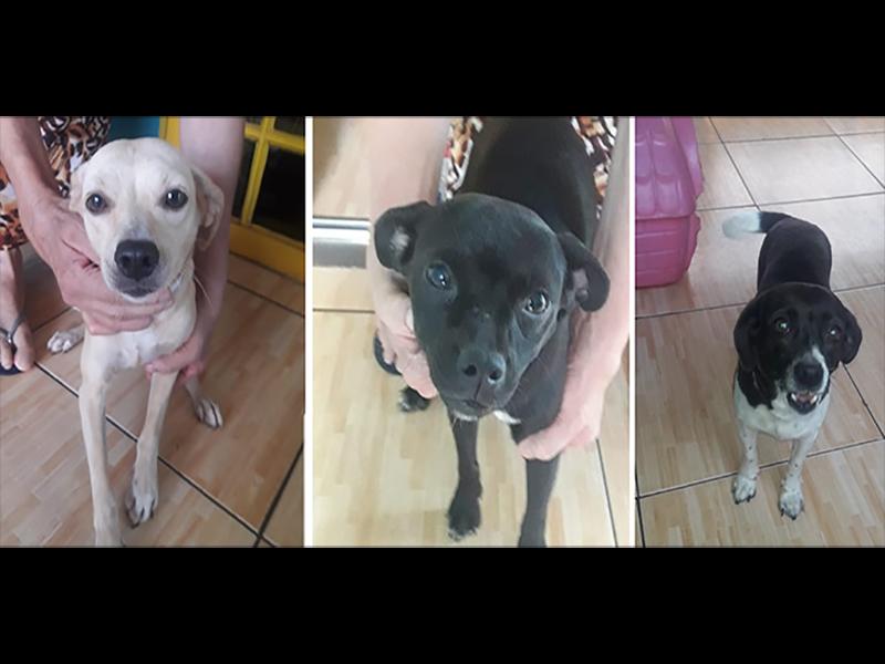 Três cachorrinhas castradas estão para adoção responsável
