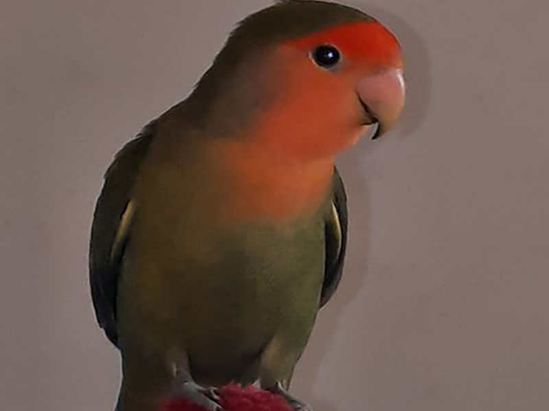 Pássaro de estimação desaparece e criança está sofrendo em Paraguaçu