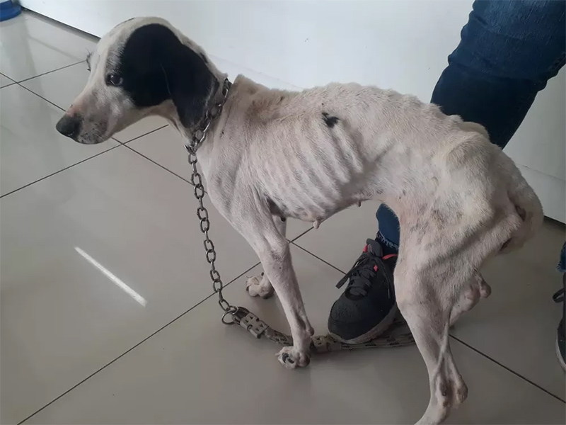 Três cães vítimas de maus-tratos são resgatados durante operação da Polícia Ambiental em Prudente