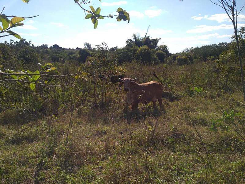 Proprietário rural é multado por pastoreio de gado próximo ao Burrinho, em Paraguaçu